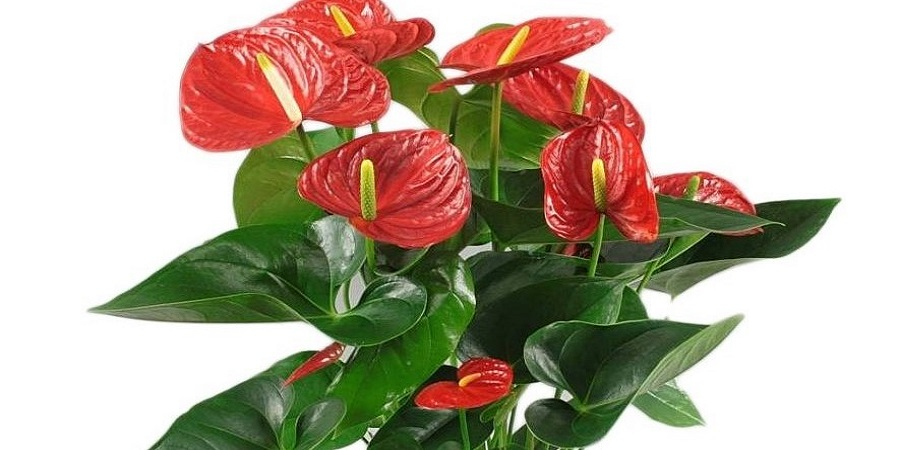 Christmas Red Anthurium